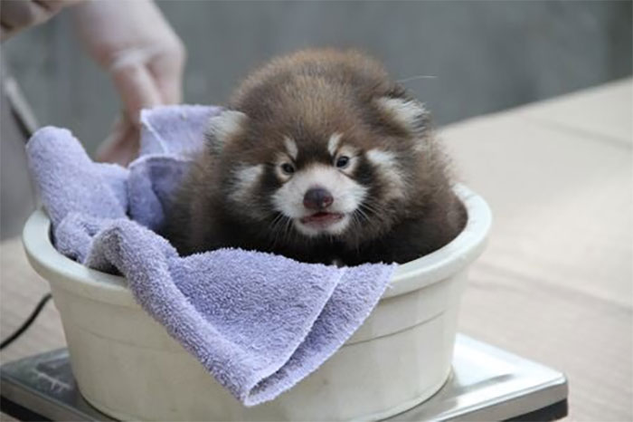 baby red panda in a plastic tub getting weighted