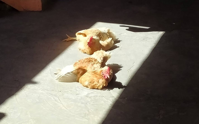 chickens love to sunbathe indoors