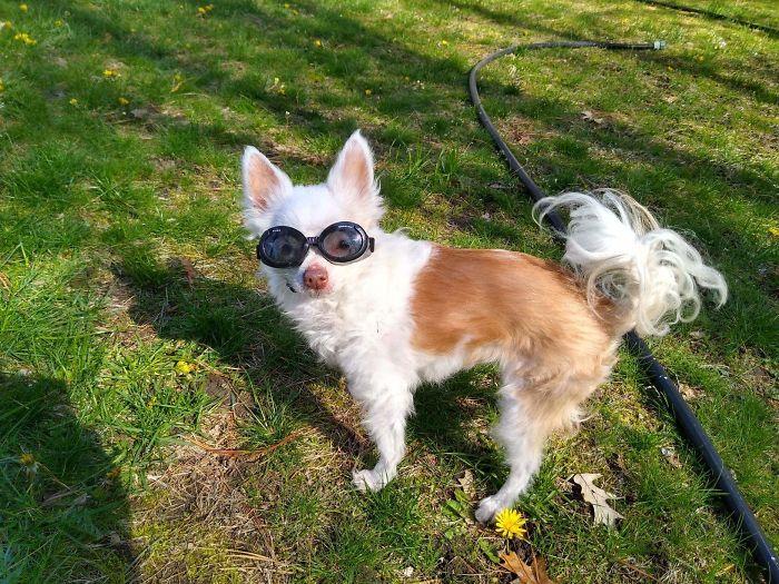 cute chihuahua with eyeglasses