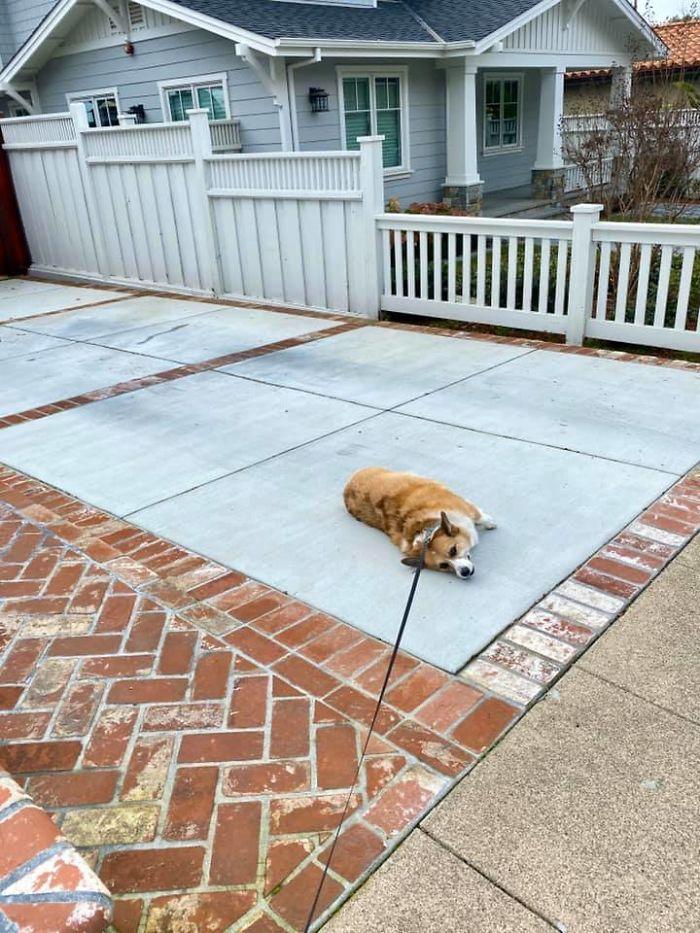 disapproving corgis dog too lazy for a walk