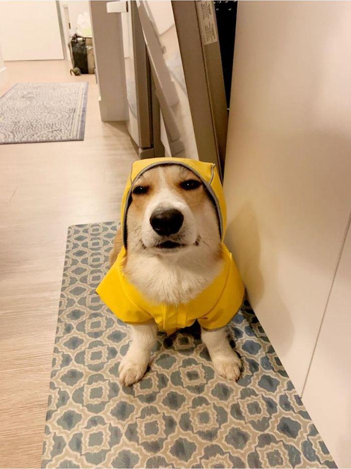 dog looks unhappy in rain coat