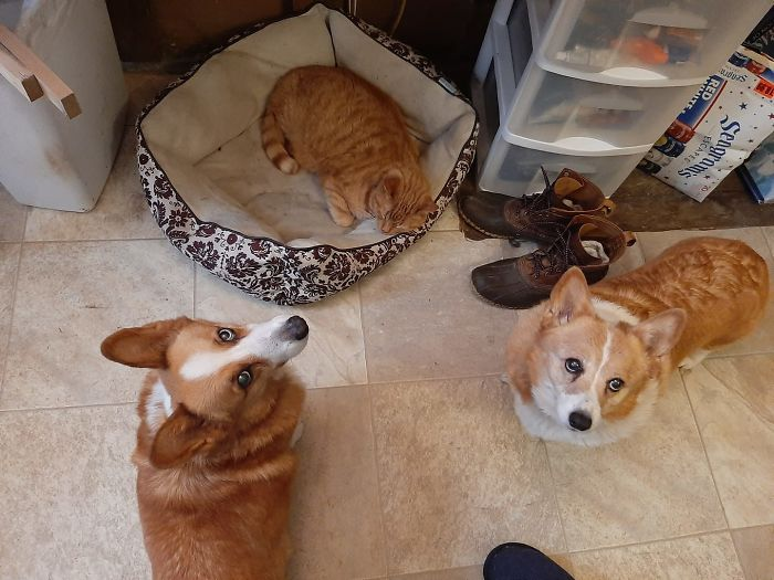 dogs disapprove cat invading the bed