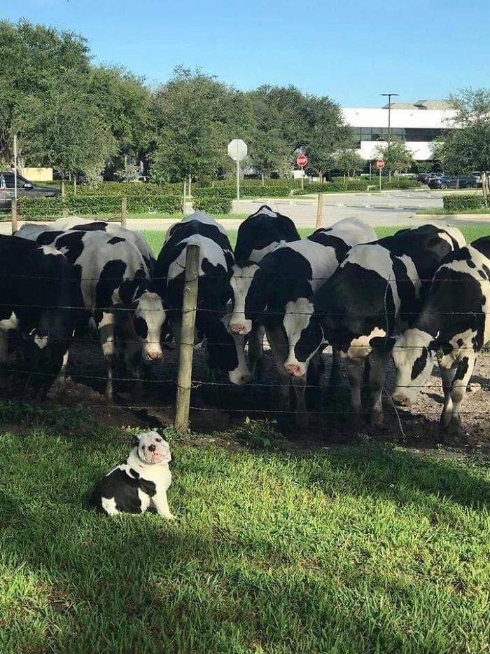 funny dog posts cow skin