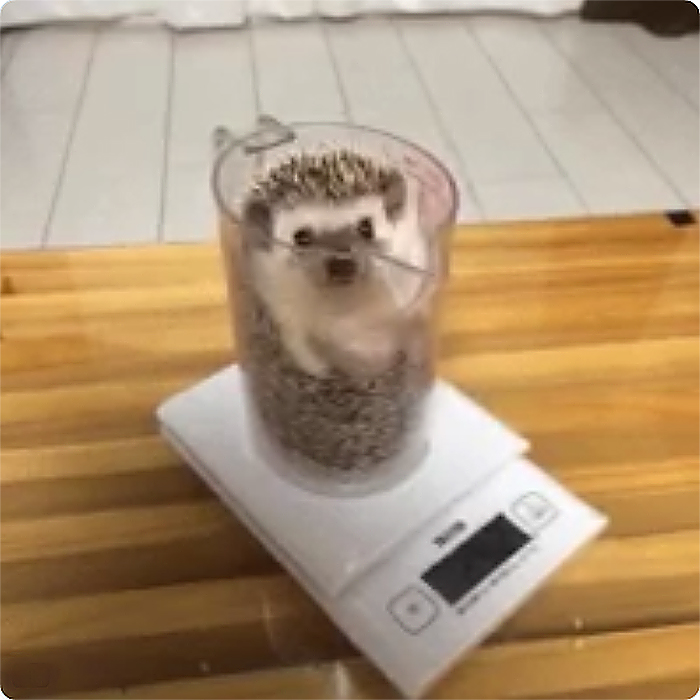 hedgehog in a plastic pitcher getting weighted