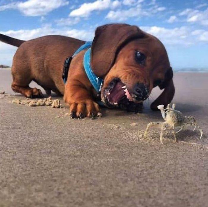 hilarious pet puppy versus crab