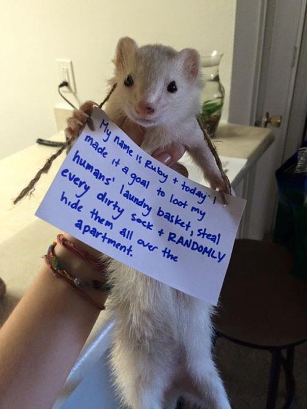 mischievious ferret