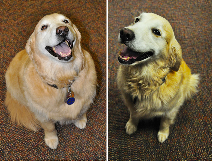 obese dog before and after photo