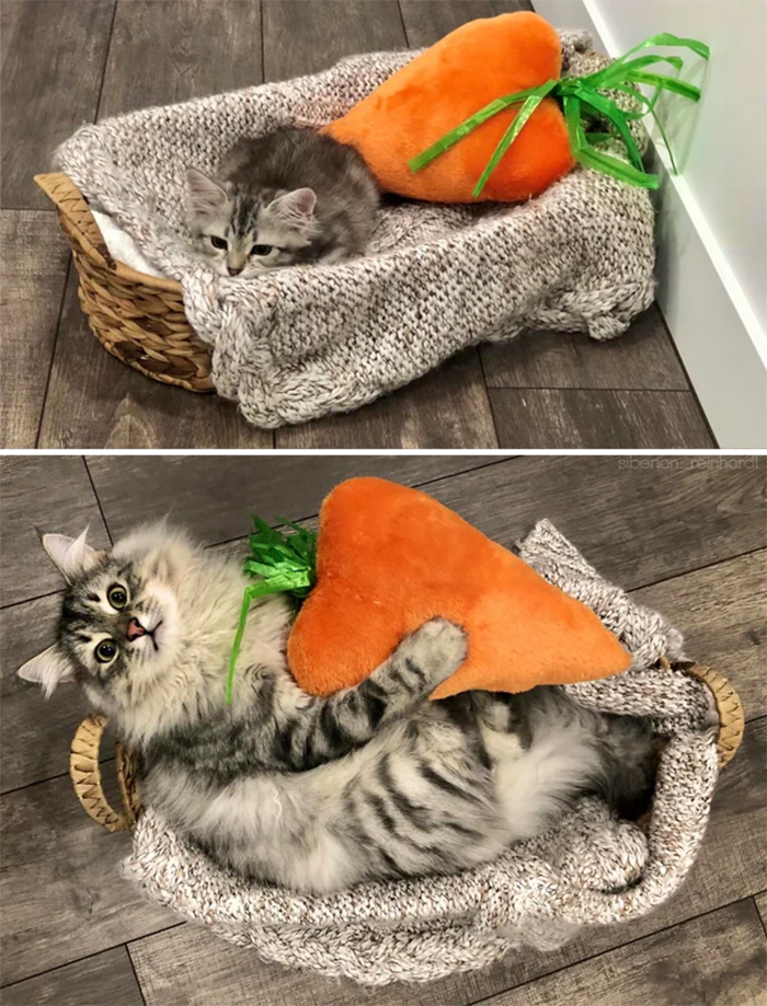 one-year old cat loves stuffed carrot toy
