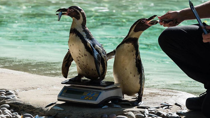 penguins getting weighted trick with fish