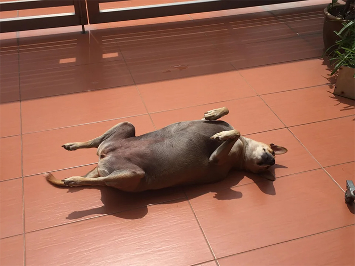 pets sunbathing dog looks like rotisserie chicken