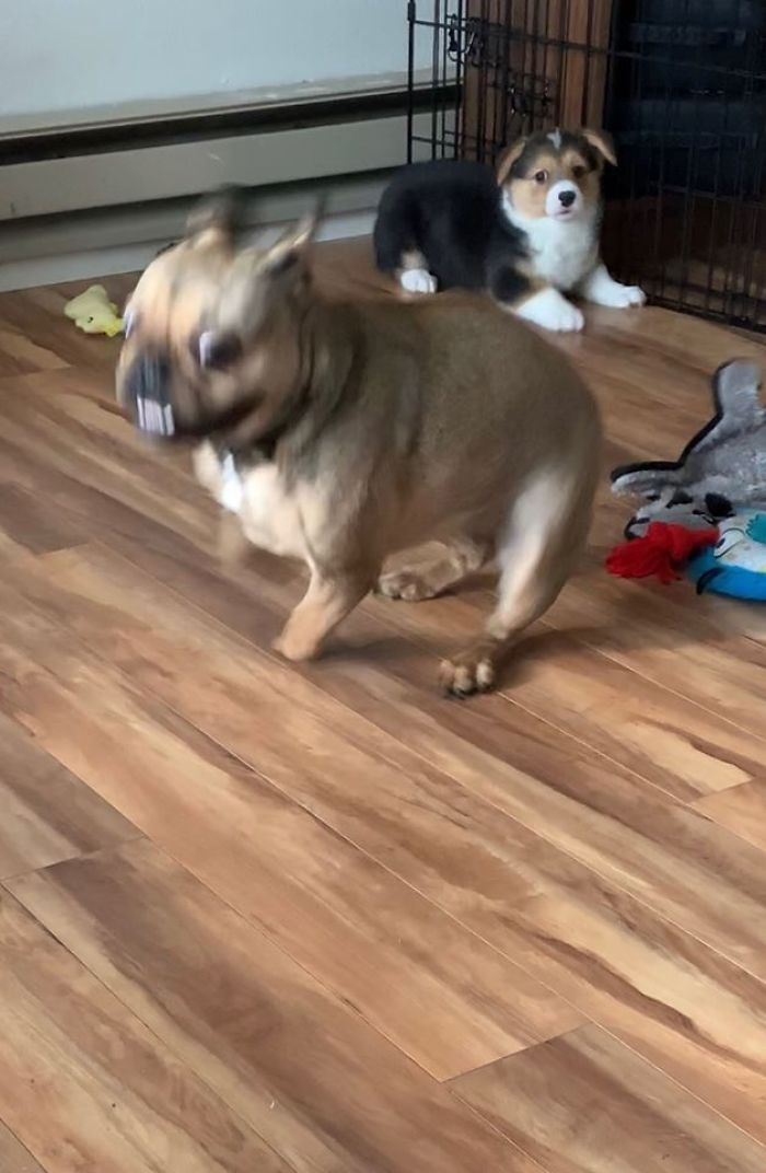 puppy disapproves of sis having the zoomies