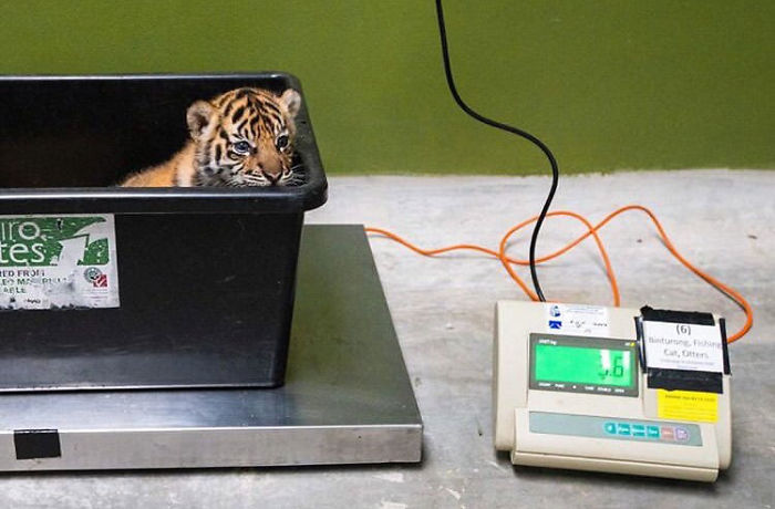 tiger cub in plastic tub getting weighted