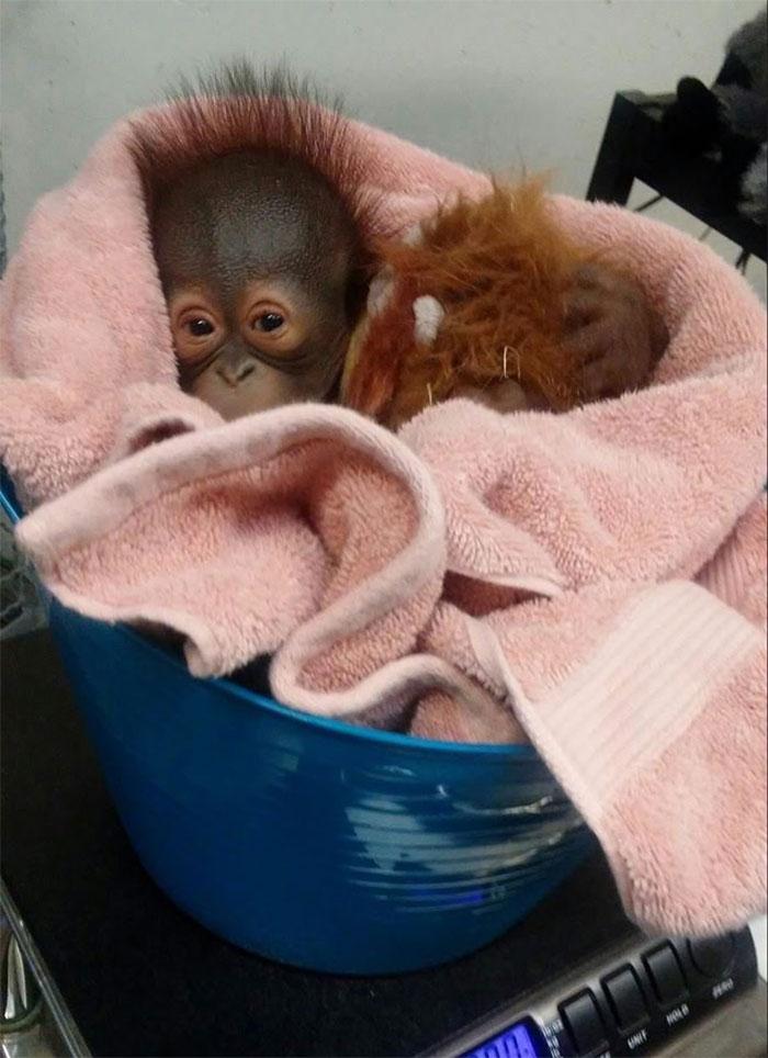 weighing animals baby orangutan