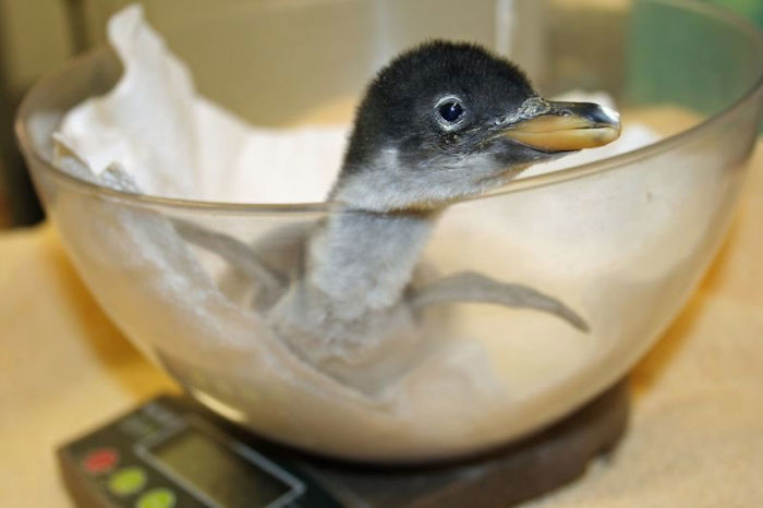 weighing animals baby penguin in a glass bowl