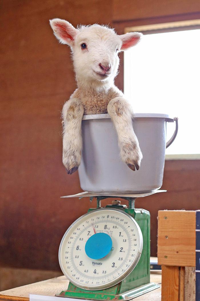 weighing animals bucket sheep