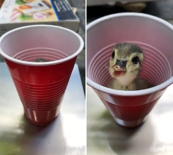 weighing animals duckling in plastic cup