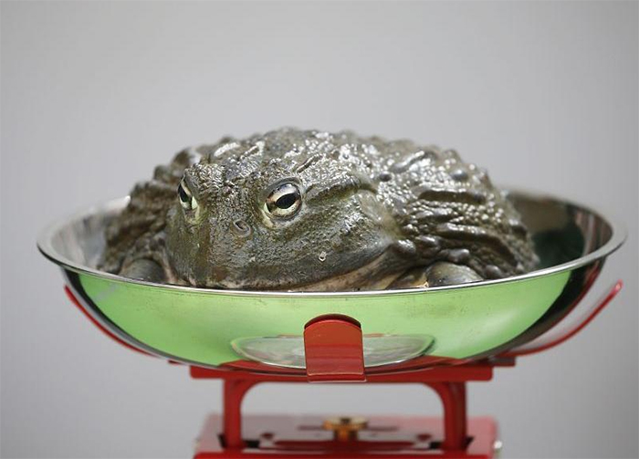 weighing animals huge toad