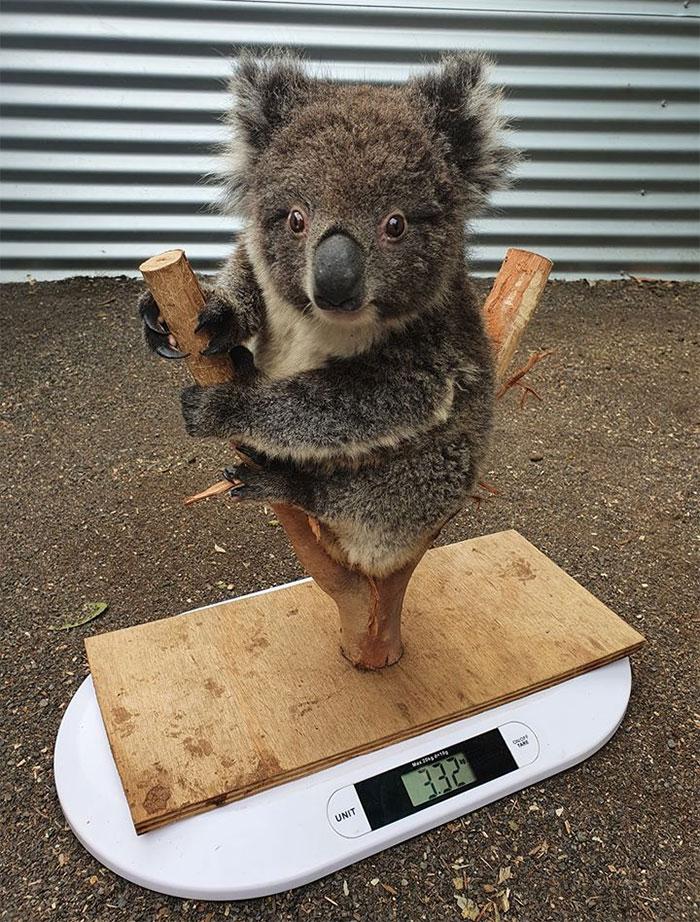 weighing animals koala tree limb