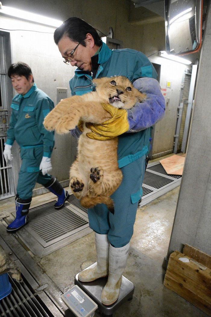 weighing animals lion cub