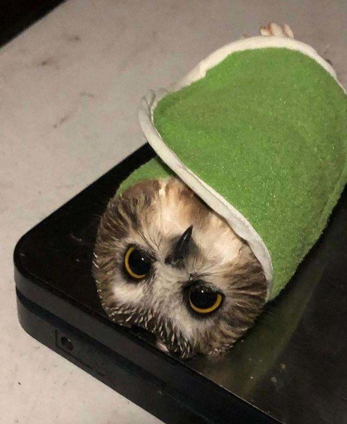 weighing animals owl burrito