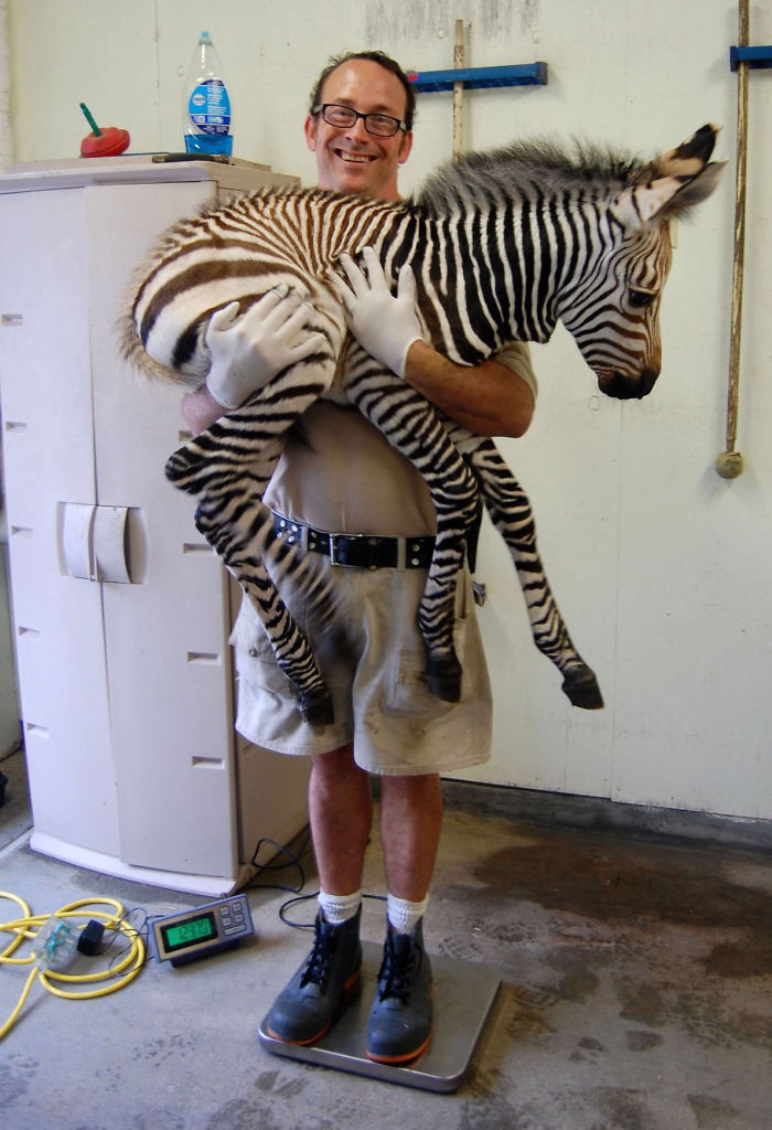 young zebra getting weighted