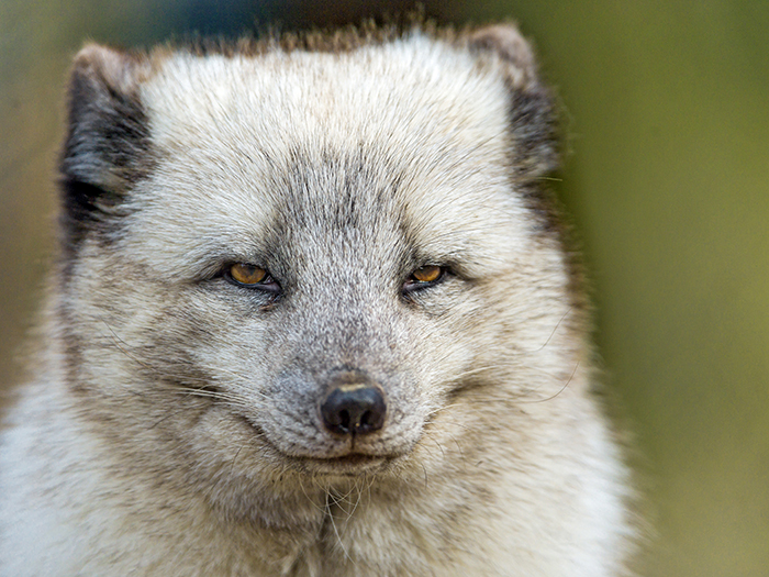 Interesting Facts Arctic Fox