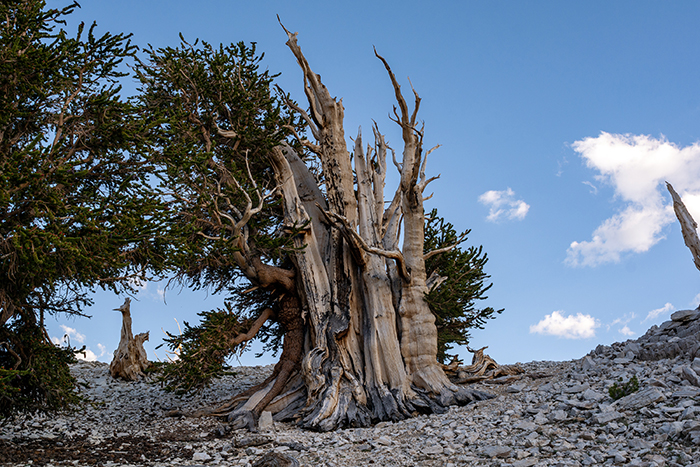 Interesting Facts Methuselah Tree
