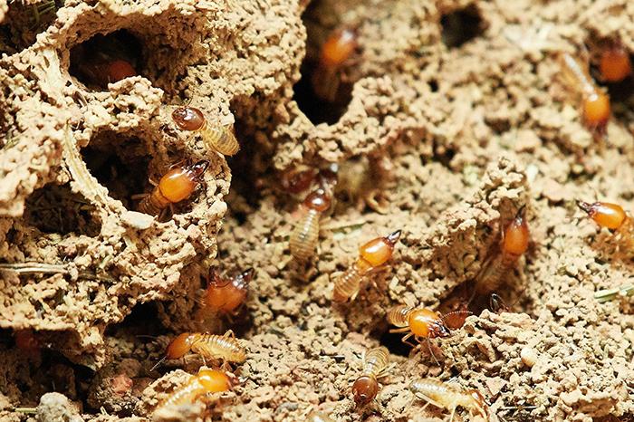 Termite Colony Trivia