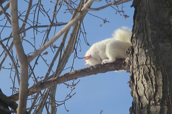 albino squirrel sleeping on a tree branch