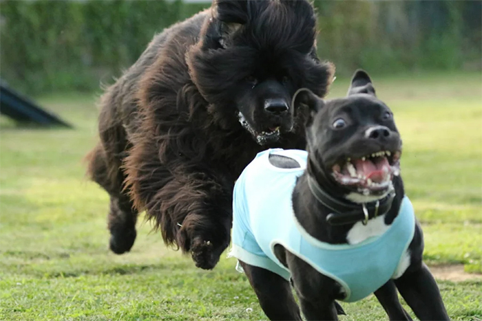 animals bad day chased by a bigger dog