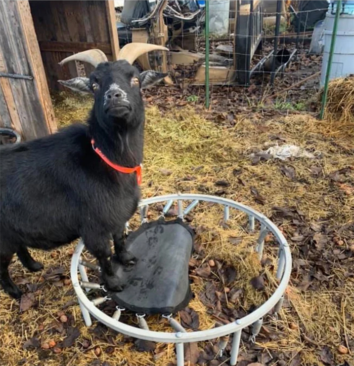 animals bad day goat broke his trampoline