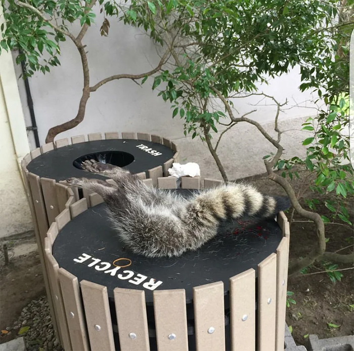 animals bad day racoon stuck in a recycle bin