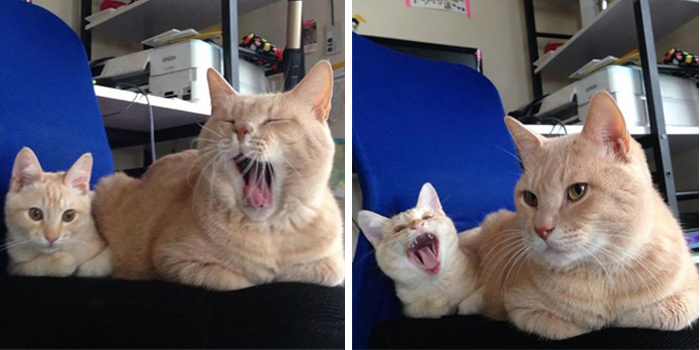 cat and her mini-me yawning