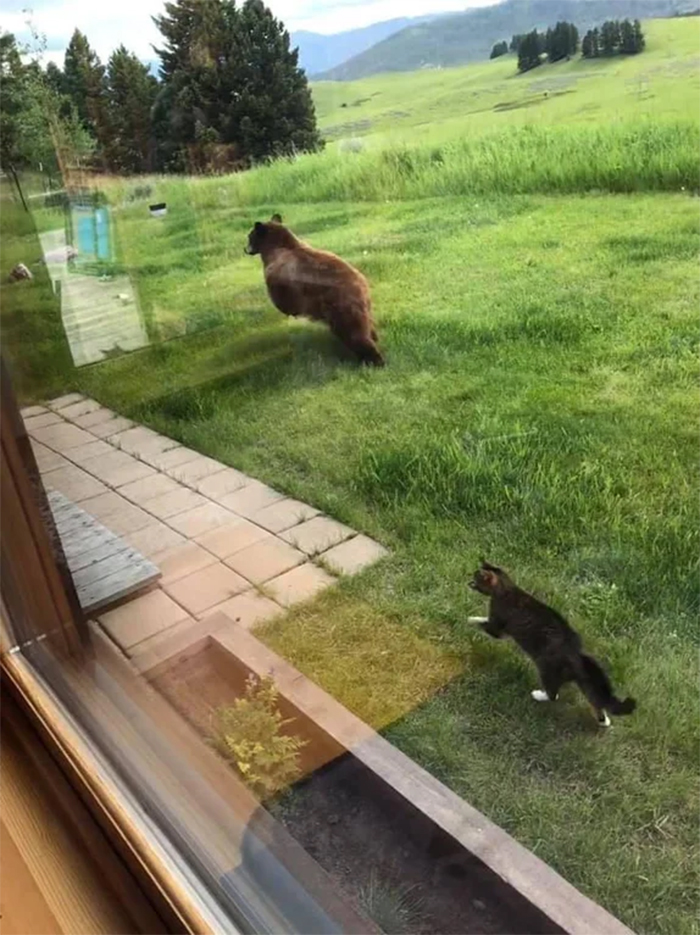 cat chases a bear
