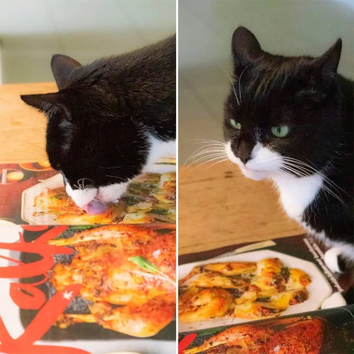 cat licks photo of chicken