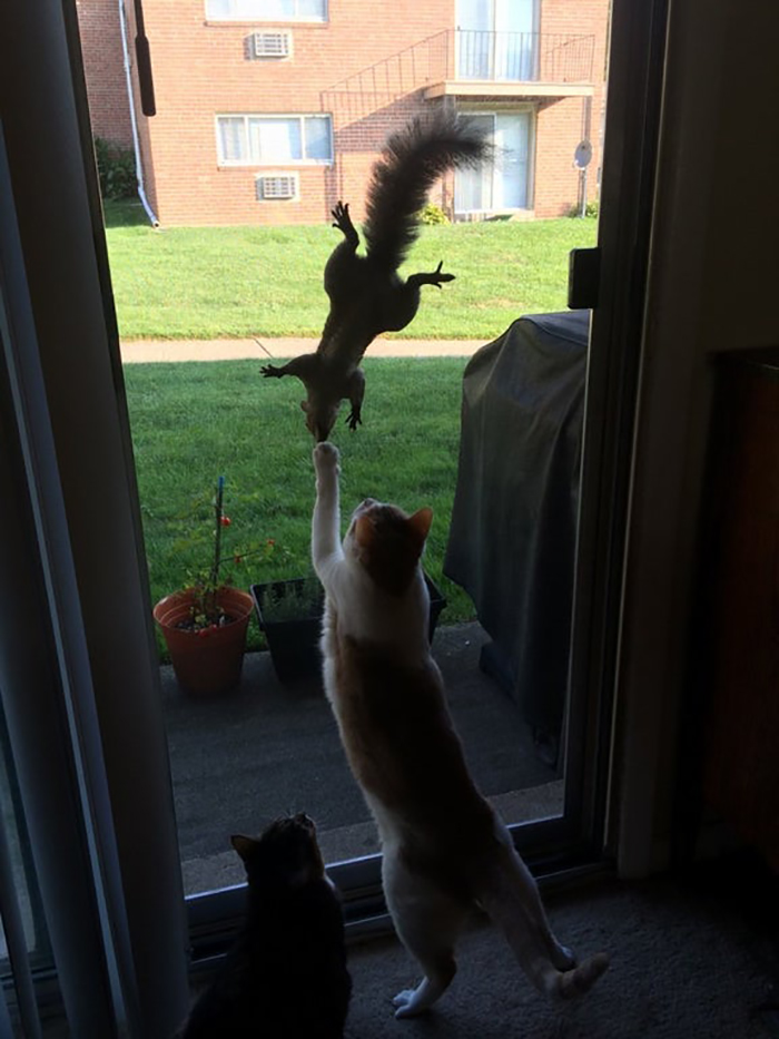 cat reaching for a rodent through the window
