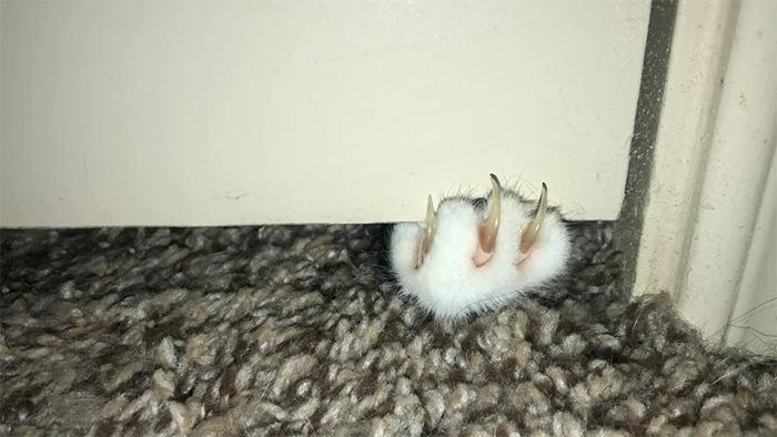 cat sharp claws emerging under the door