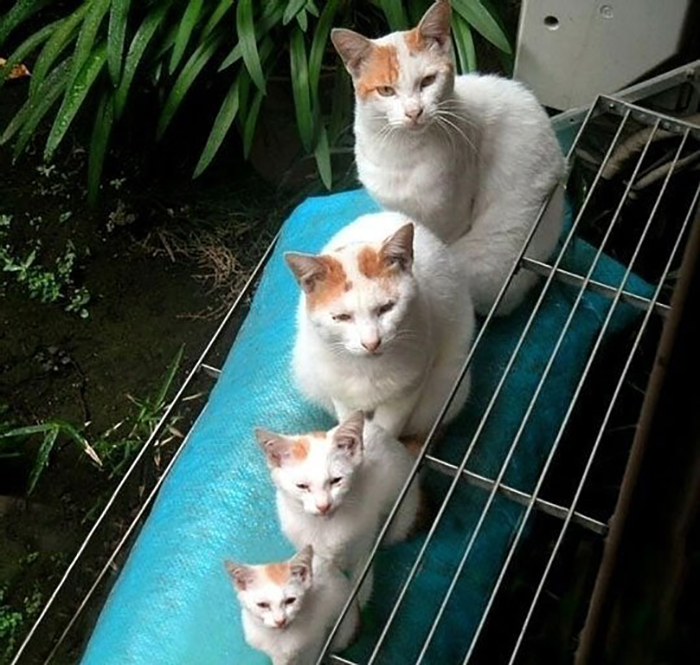 cats lined up like matryoshka dolls