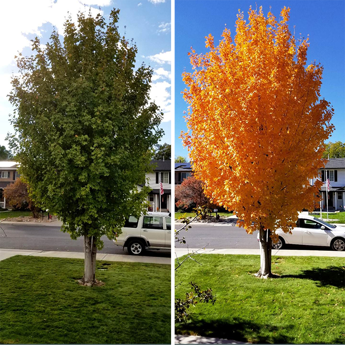 comparison images of a maple tree