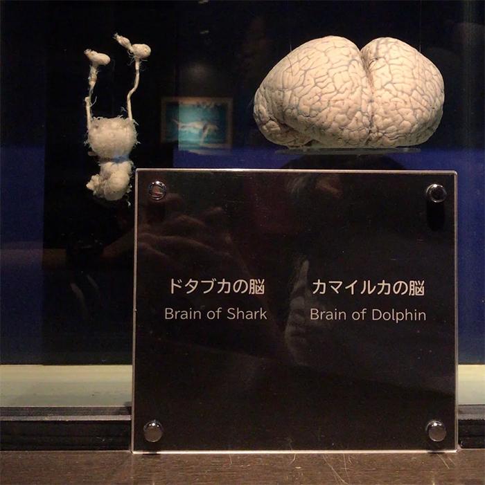 comparison images sharkvs dolphin brains
