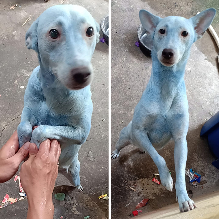 dog owner uses hair dye on pet