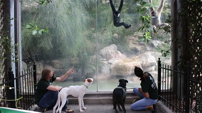 dogs watch swinging gibbons