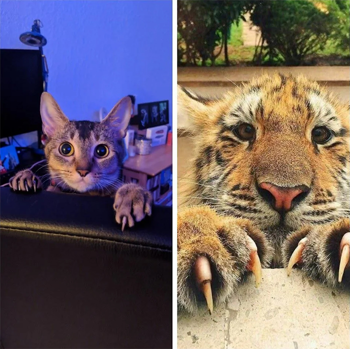 domestic cat and wild feline resemblance