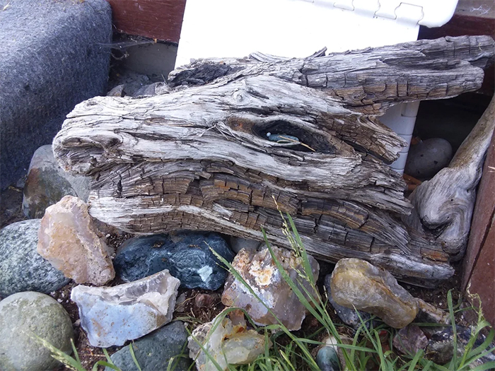 driftwood looks like dragon head