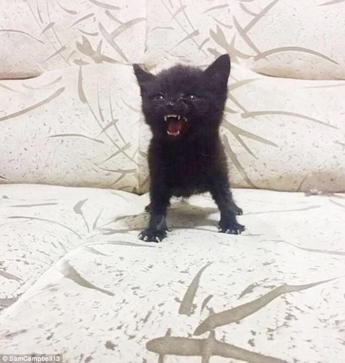 ferocious small kitten