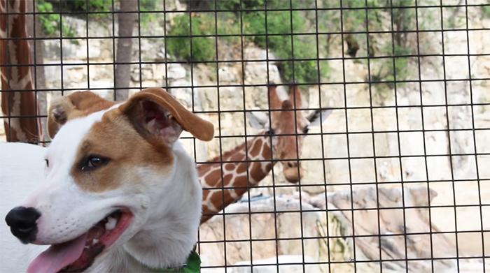 giraffe looking at a dog