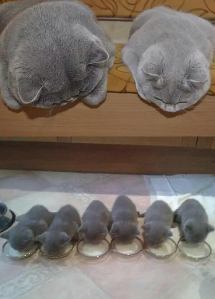 gray cats with their mini-mes