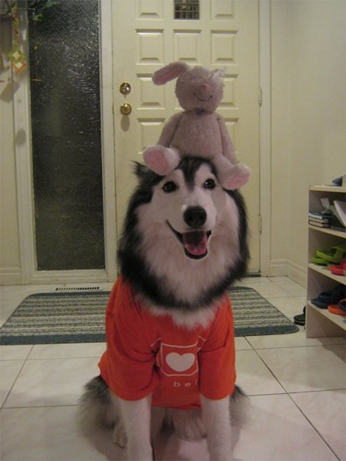 husky raised by cats toy on head
