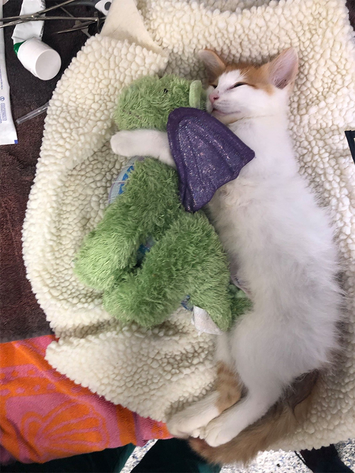 kitten and plush toy undergo surgery together