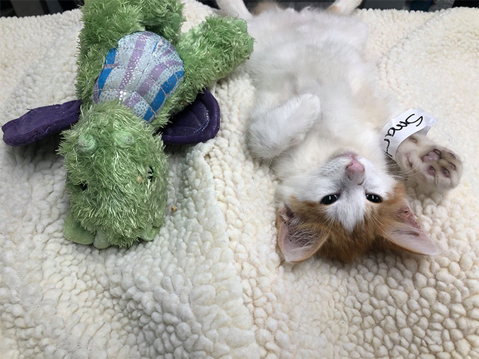 kitten and stuffed dragon getting neutered